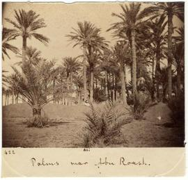 [422] Palms near Abu Roash.