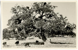 Photograph of goats in a tree
