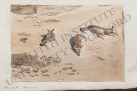 Abu Zaabal, 'The Sunnyside', three foxes basking in the sun