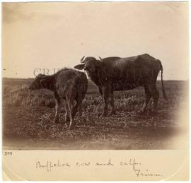 [509] Buffaloe cow and calf. Faium.