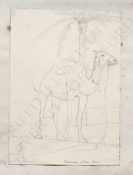 Saqqara, camel standing beneath a palm tree
